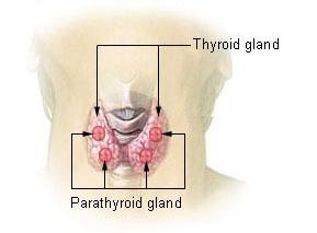 tiroidna stitna zlezda